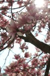 Magnolia Tree Close