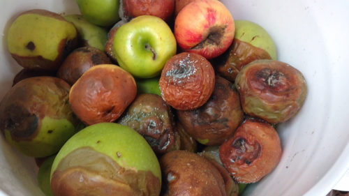 Rotten Apples in a bucket